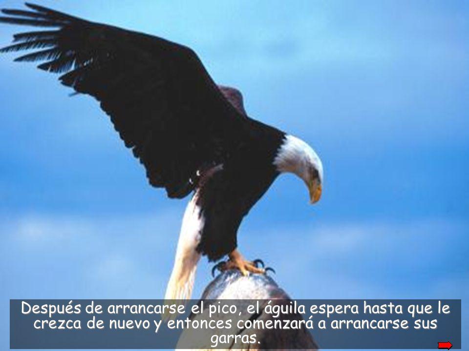 Allí el águila golea su pico contra la roca hasta que lo rompe.