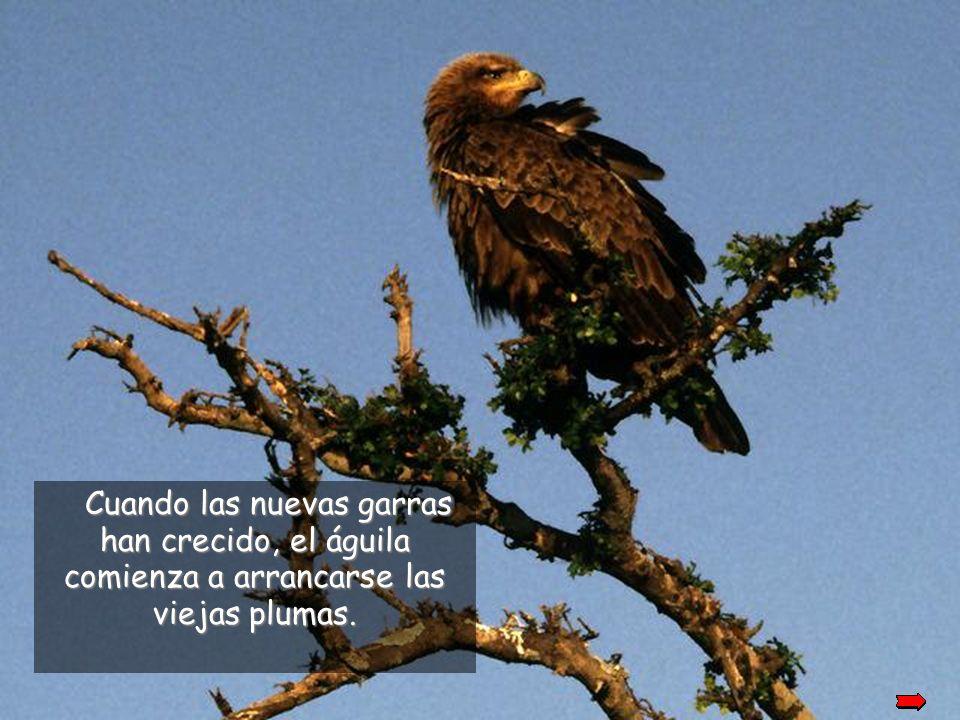 Después de arrancarse el pico, el águila espera hasta que le crezca de nuevo y entonces comenzará a arrancarse sus garras.