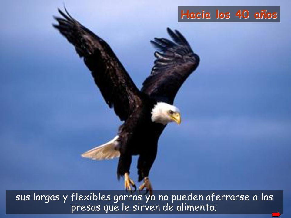 Pero para alcanzar esa edad el águila tiene que tomar una decisión dura y difícil. Puede vivir hasta los 70 años.