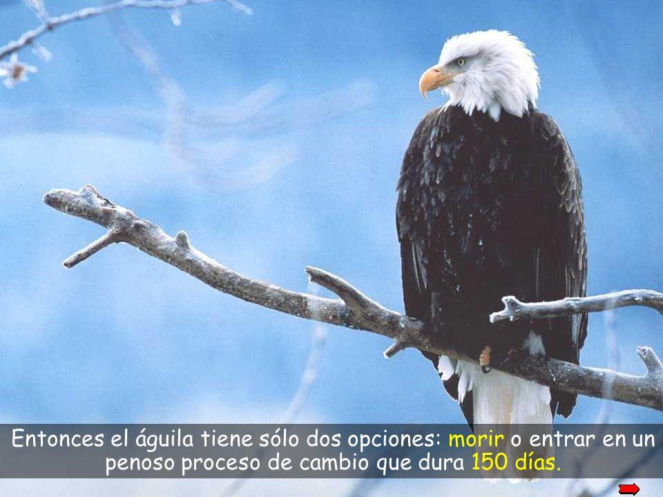 las alas se vuelven gruesas y pesadas, a causa de sus viejas plumas que hacen difícil el vuelo.