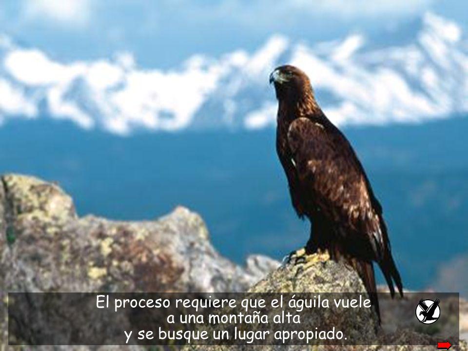 Entonces el águila tiene sólo dos opciones: morir o entrar en un penoso proceso de cambio que dura 150 días.