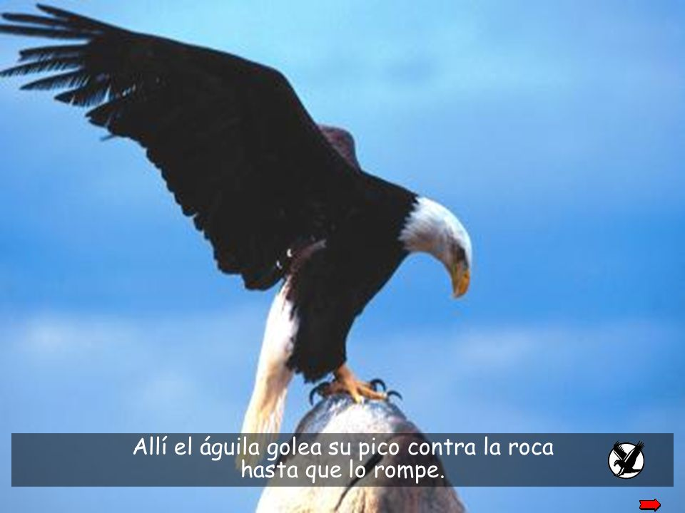El proceso requiere que el águila vuele a una montaña alta y se busque un lugar apropiado.