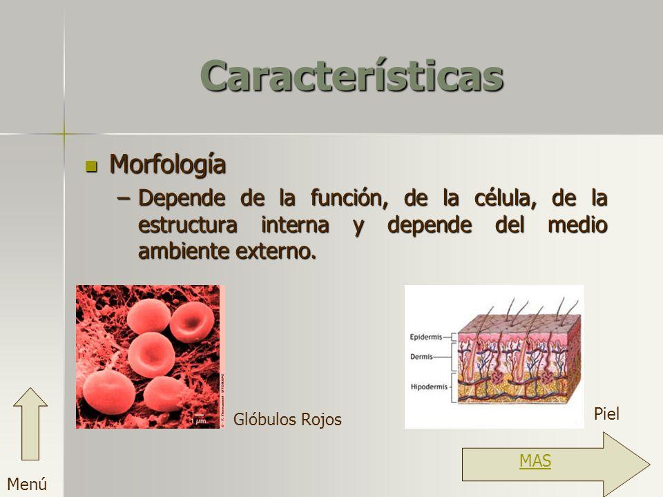 Características Morfología –D–D–D–Depende de la función, de la célula, de la estructura interna y depende del medio ambiente externo. Glóbulos Rojos P
