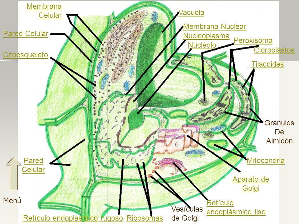 Vacuola Membrana Nuclear Nucleoplasma Nucléolo Peroxisoma Cloroplastos Tilacoides Gránulos De Almidón Aparato de Golgi Retículo endoplásmico liso Vesí