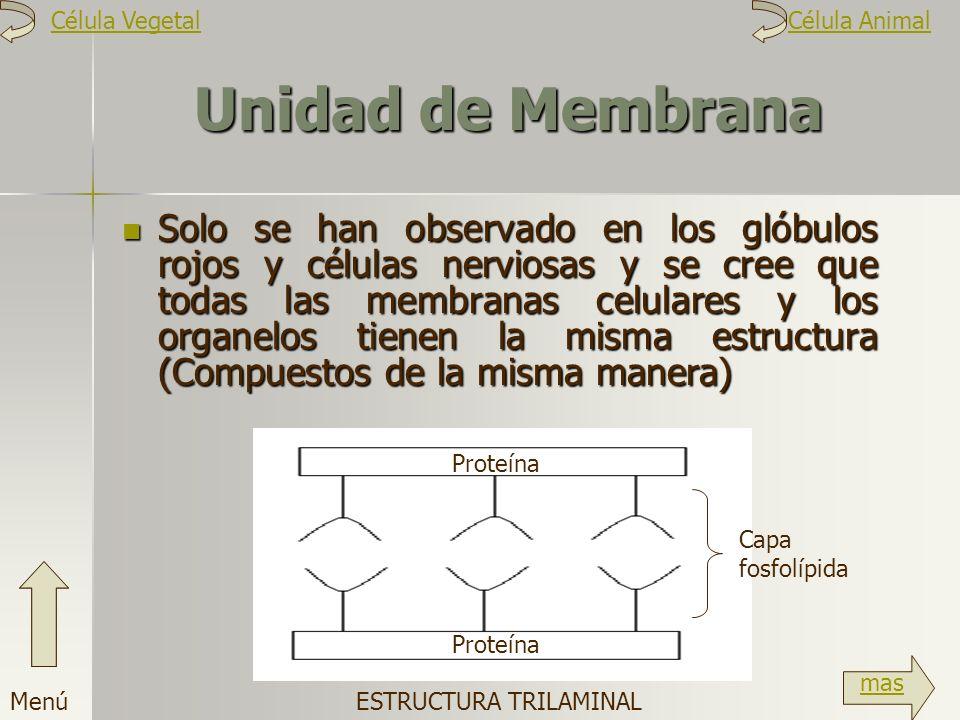 Unidad de Membrana Solo se han observado en los glóbulos rojos y células nerviosas y se cree que todas las membranas celulares y los organelos tienen