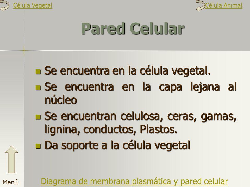 Pared Celular Se encuentra en la célula vegetal. Se encuentra en la capa lejana al núcleo Se encuentran celulosa, ceras, gamas, lignina, conductos, Pl