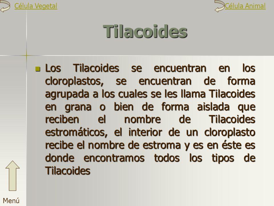 Tilacoides Los Tilacoides se encuentran en los cloroplastos, se encuentran de forma agrupada a los cuales se les llama Tilacoides en grana o bien de f