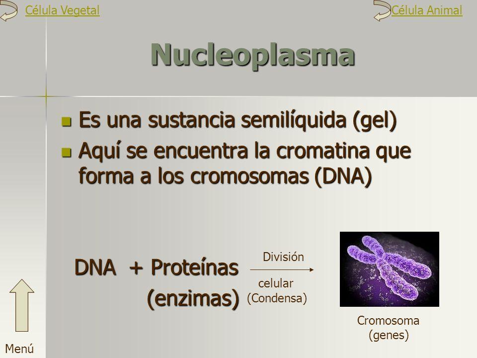 Nucleoplasma Es una sustancia semilíquida (gel) Aquí se encuentra la cromatina que forma a los cromosomas (DNA) DNA + Proteínas (enzimas) Cromosoma (g