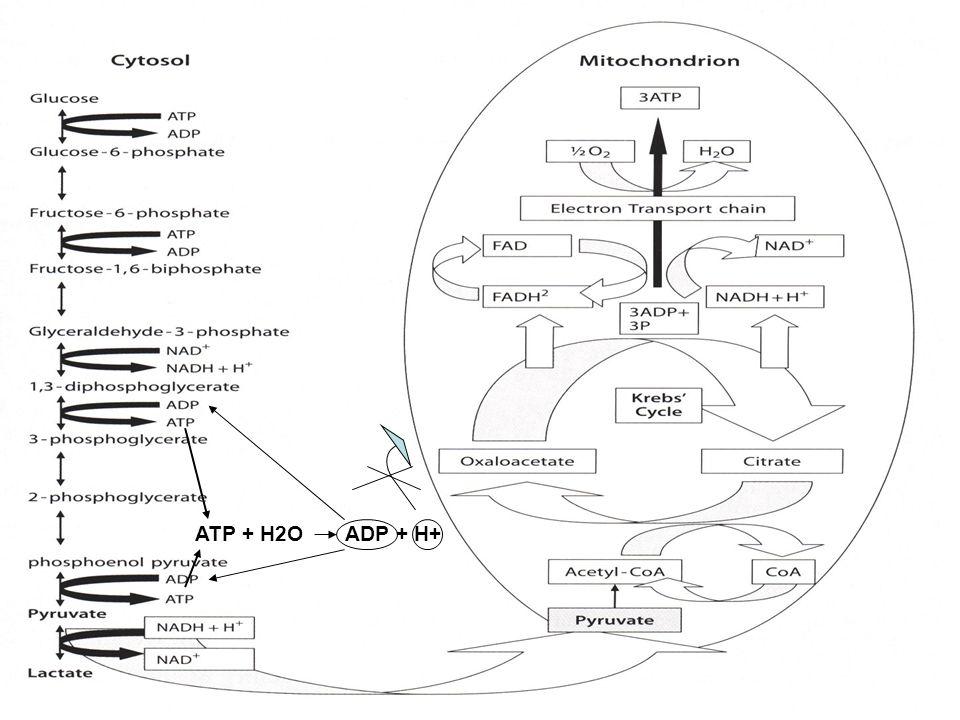 ATP + H2O ADP + H+