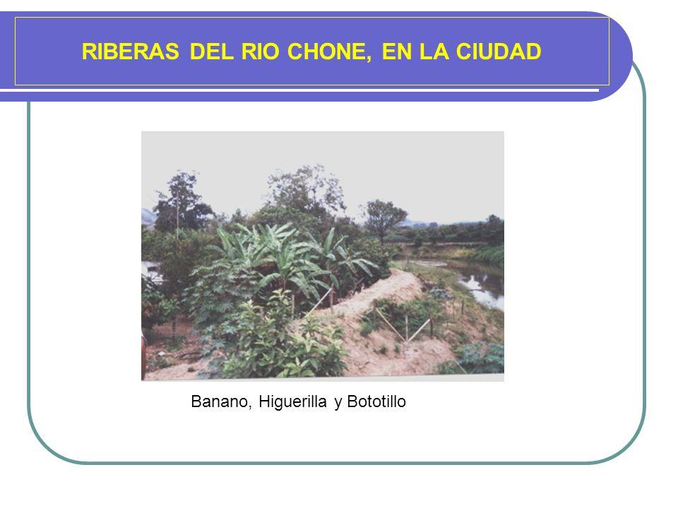 RIBERAS DEL RIO CHONE, EN LA CIUDAD Banano, Higuerilla y Bototillo