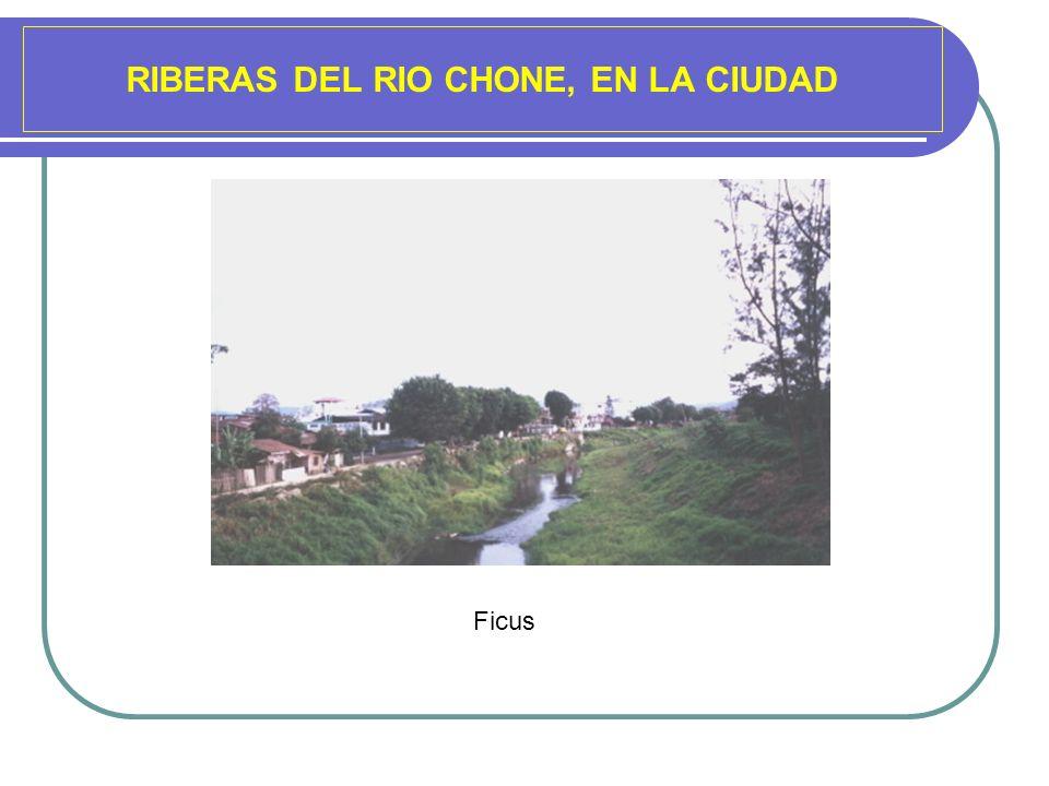 RIBERAS DEL RIO CHONE, EN LA CIUDAD Ficus