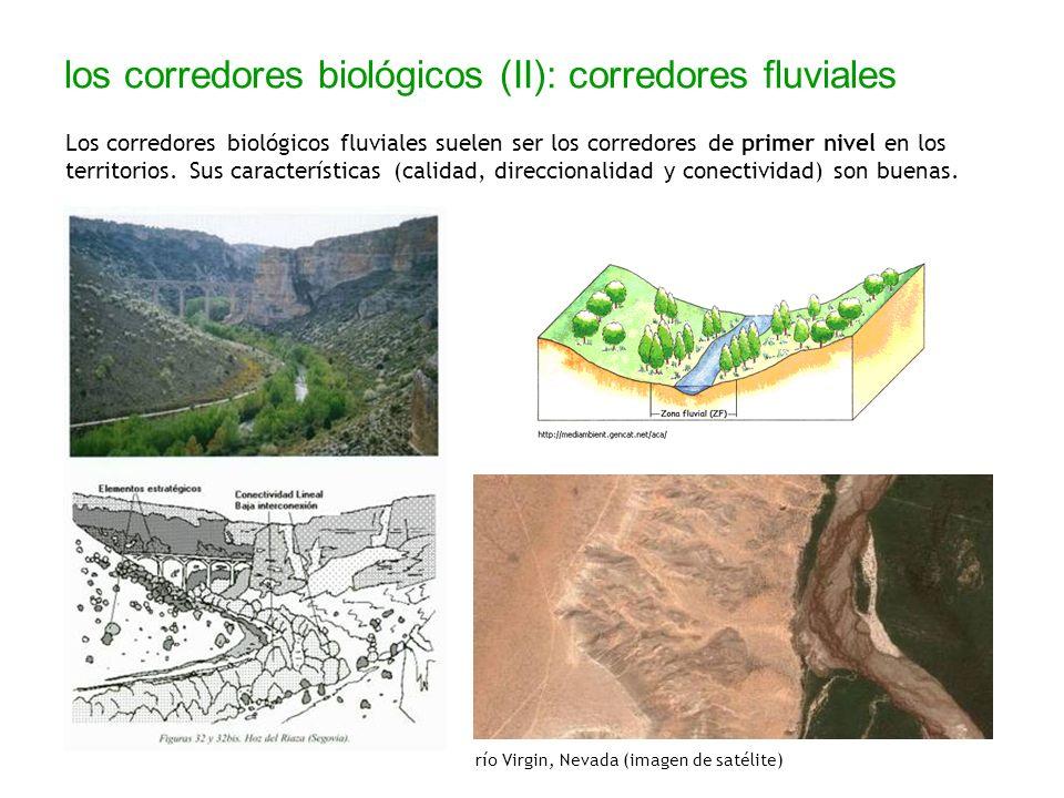 los corredores biológicos (II): corredores fluviales Los corredores biológicos fluviales suelen ser los corredores de primer nivel en los territorios.
