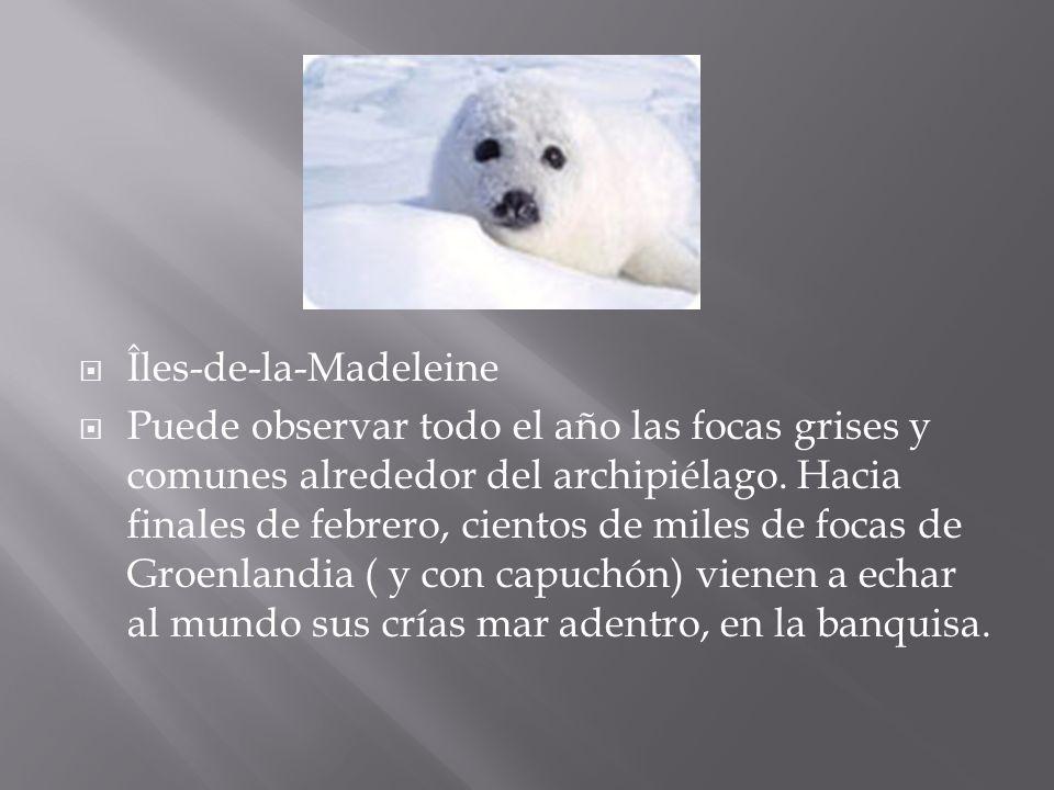 Îles-de-la-Madeleine Puede observar todo el año las focas grises y comunes alrededor del archipiélago. Hacia finales de febrero, cientos de miles de f