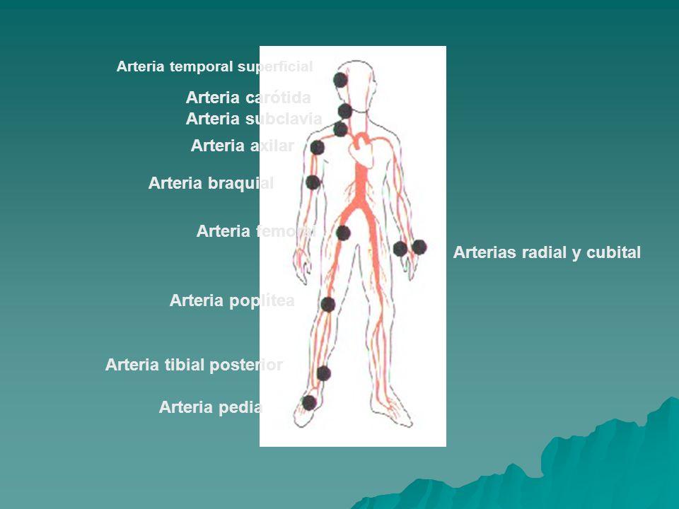 Arteria temporal superficial Arteria carótida Arteria subclavia Arteria axilar Arteria braquial Arteria femoral Arteria poplítea Arteria tibial poster