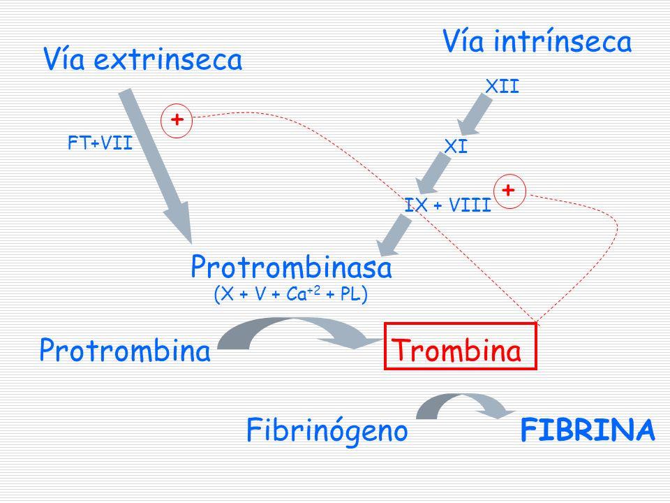 Fibrinógeno Vía intrínseca Vía extrinseca Protrombinasa (X + V + Ca +2 + PL) ProtrombinaTrombina FIBRINA XII XI IX + VIII + + FT+VII