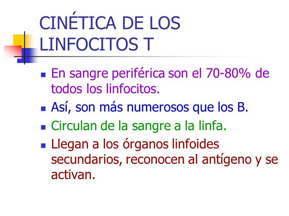 CINÉTICA DE LOS LINFOCITOS T En sangre periférica son el 70-80% de todos los linfocitos. Así, son más numerosos que los B. Circulan de la sangre a la