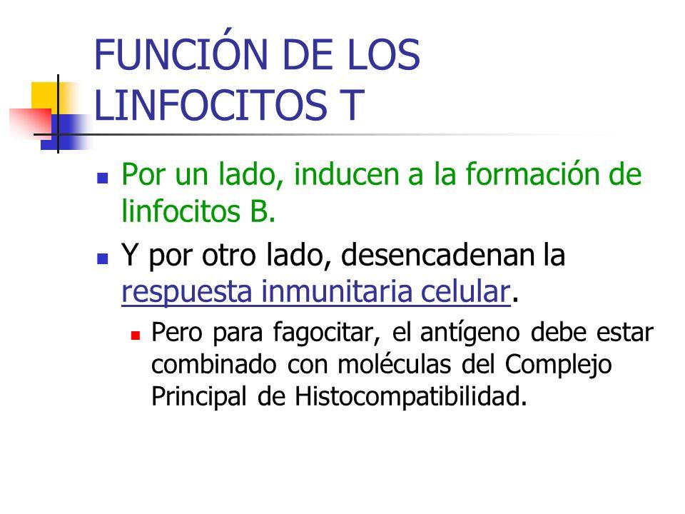 FUNCIÓN DE LOS LINFOCITOS T Por un lado, inducen a la formación de linfocitos B. Y por otro lado, desencadenan la respuesta inmunitaria celular. Pero