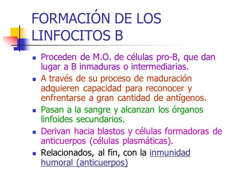 FORMACIÓN DE LOS LINFOCITOS B Proceden de M.O. de células pro-B, que dan lugar a B inmaduras o intermediarias. A través de su proceso de maduración ad