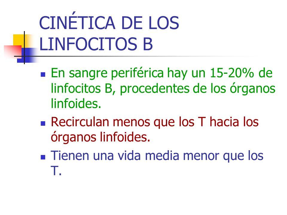 CINÉTICA DE LOS LINFOCITOS B En sangre periférica hay un 15-20% de linfocitos B, procedentes de los órganos linfoides. Recirculan menos que los T haci
