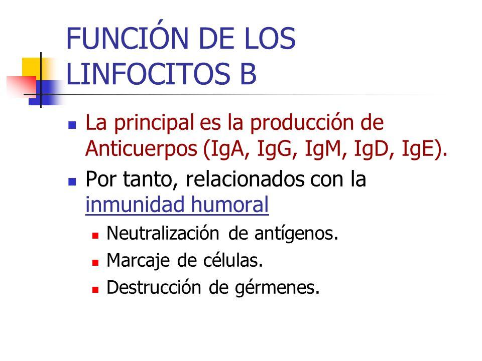 FUNCIÓN DE LOS LINFOCITOS B La principal es la producción de Anticuerpos (IgA, IgG, IgM, IgD, IgE). Por tanto, relacionados con la inmunidad humoral N