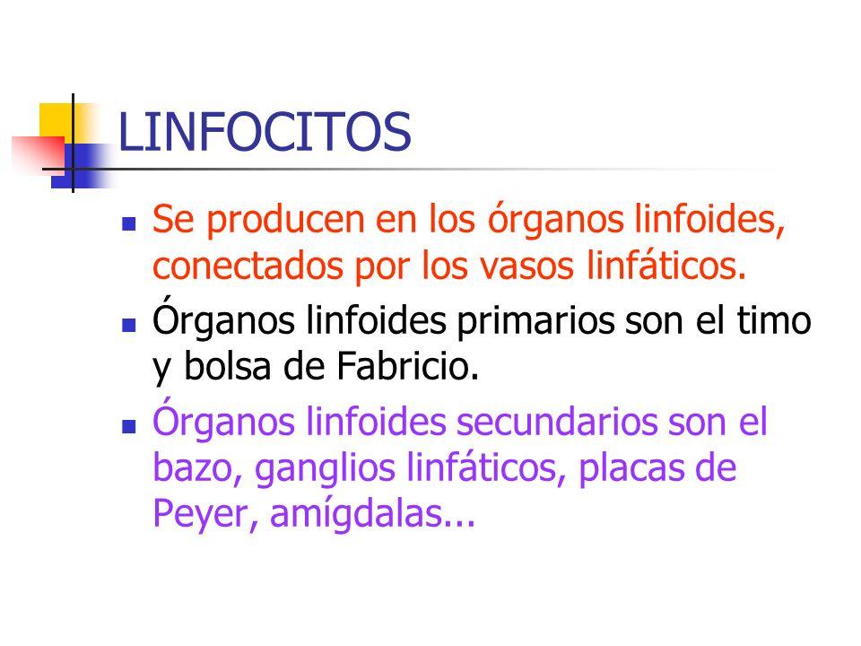 LINFOCITOS Se producen en los órganos linfoides, conectados por los vasos linfáticos. Órganos linfoides primarios son el timo y bolsa de Fabricio. Órg