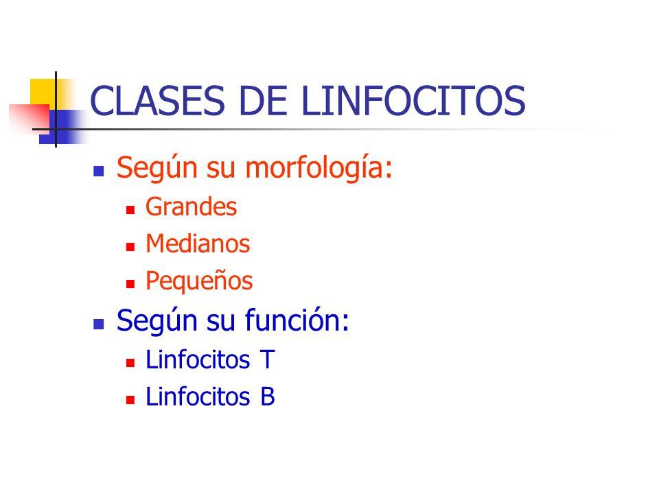 CLASES DE LINFOCITOS Según su morfología: Grandes Medianos Pequeños Según su función: Linfocitos T Linfocitos B