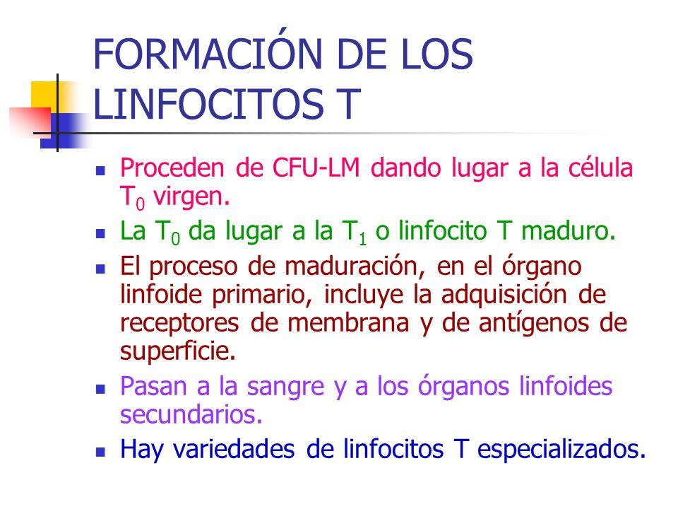 FORMACIÓN DE LOS LINFOCITOS T Proceden de CFU-LM dando lugar a la célula T 0 virgen. La T 0 da lugar a la T 1 o linfocito T maduro. El proceso de madu