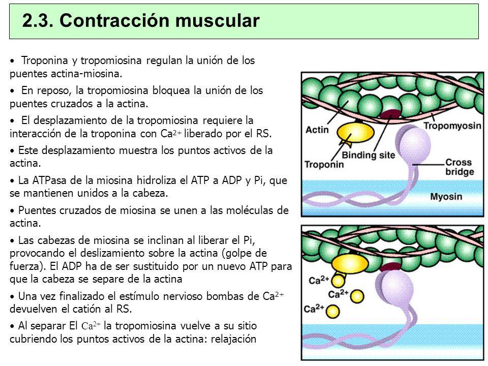 Troponina y tropomiosina regulan la unión de los puentes actina-miosina. En reposo, la tropomiosina bloquea la unión de los puentes cruzados a la acti