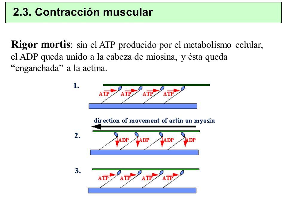 Rigor mortis : sin el ATP producido por el metabolismo celular, el ADP queda unido a la cabeza de miosina, y ésta queda enganchada a la actina. 2.3. C