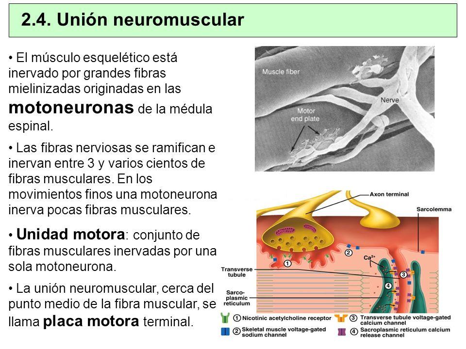 El músculo esquelético está inervado por grandes fibras mielinizadas originadas en las motoneuronas de la médula espinal. Las fibras nerviosas se rami