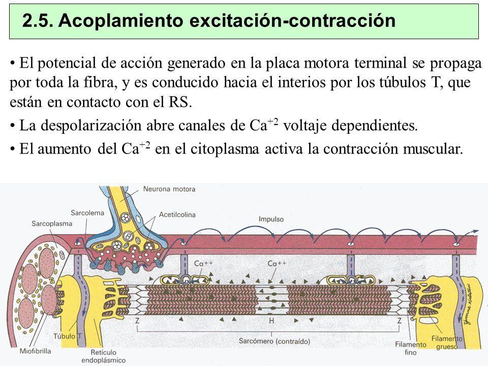 2.5. Acoplamiento excitación-contracción El potencial de acción generado en la placa motora terminal se propaga por toda la fibra, y es conducido haci