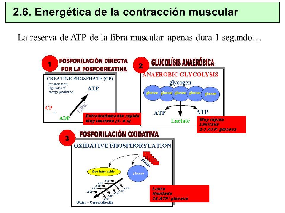 2.6. Energética de la contracción muscular La reserva de ATP de la fibra muscular apenas dura 1 segundo…