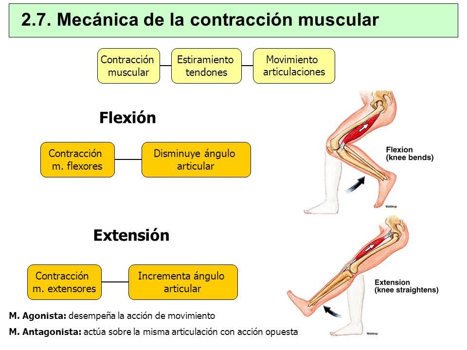 Contracción muscular Estiramiento tendones Movimiento articulaciones Contracción m. extensores Incrementa ángulo articular Contracción m. flexores Dis