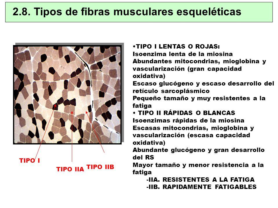 TIPO I LENTAS O ROJAS: Isoenzima lenta de la miosina Abundantes mitocondrias, mioglobina y vascularización (gran capacidad oxidativa) Escaso glucógeno