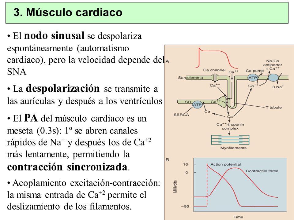 El nodo sinusal se despolariza espontáneamente (automatismo cardiaco), pero la velocidad depende del SNA La despolarización se transmite a las aurícul