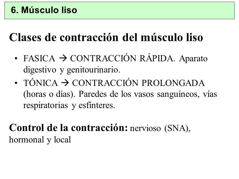 Clases de contracción del músculo liso FASICA CONTRACCIÓN RÁPIDA. Aparato digestivo y genitourinario. TÓNICA CONTRACCIÓN PROLONGADA (horas o días). Pa