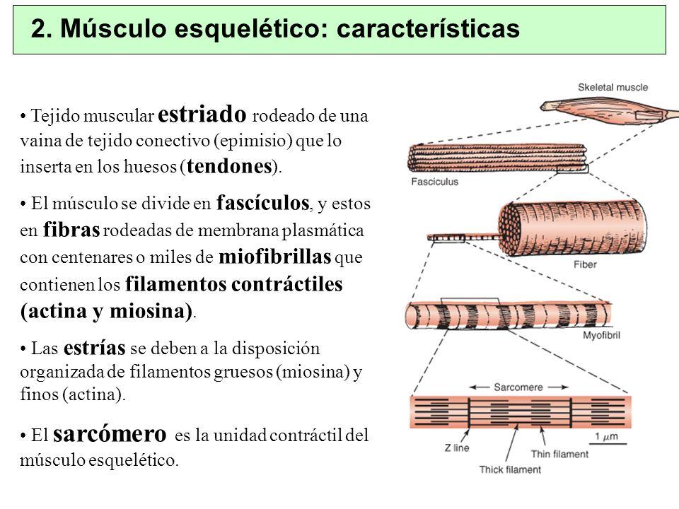 2. Músculo esquelético: características Tejido muscular estriado rodeado de una vaina de tejido conectivo (epimisio) que lo inserta en los huesos ( te