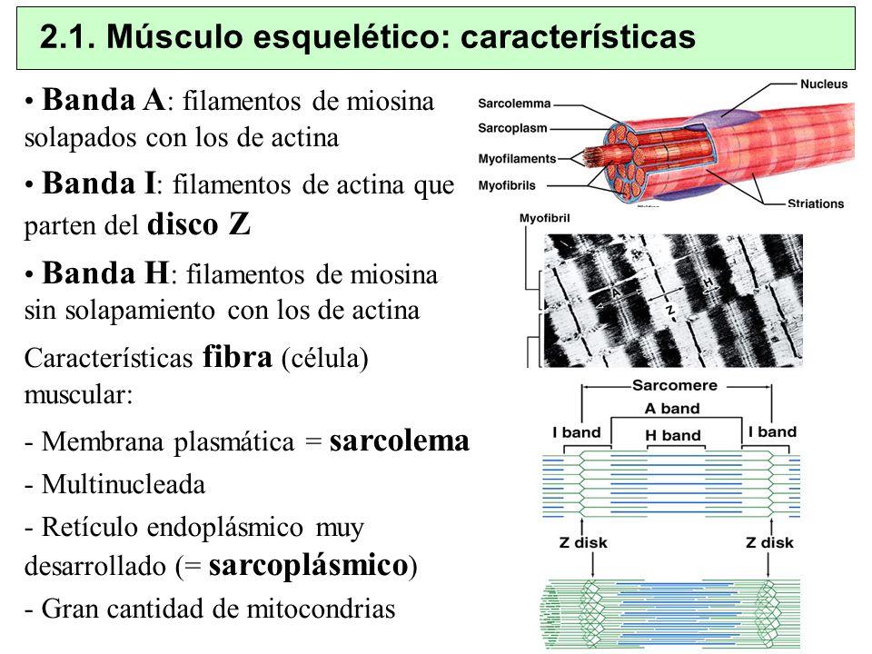2.1. Músculo esquelético: características Banda A : filamentos de miosina solapados con los de actina Banda I : filamentos de actina que parten del di