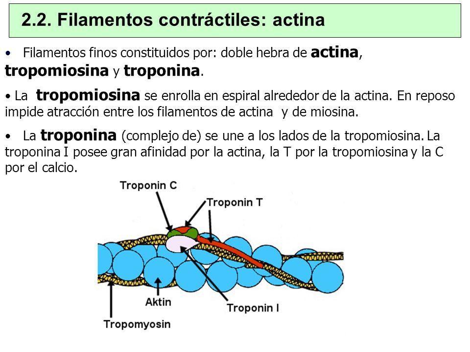Filamentos finos constituidos por: doble hebra de actina, tropomiosina y troponina. La tropomiosina se enrolla en espiral alrededor de la actina. En r