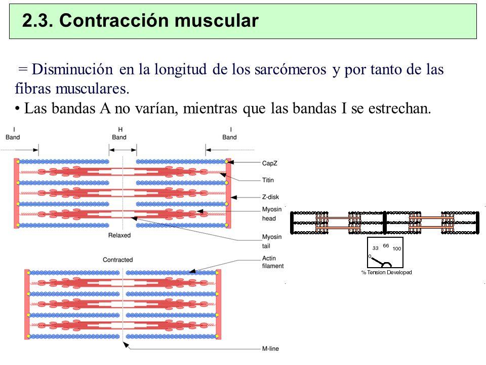 = Disminución en la longitud de los sarcómeros y por tanto de las fibras musculares. Las bandas A no varían, mientras que las bandas I se estrechan. 2