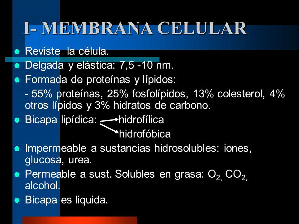 I- MEMBRANA CELULAR Reviste la célula. Delgada y elástica: 7,5 -10 nm. Formada de proteínas y lípidos: - 55% proteínas, 25% fosfolípidos, 13% colester