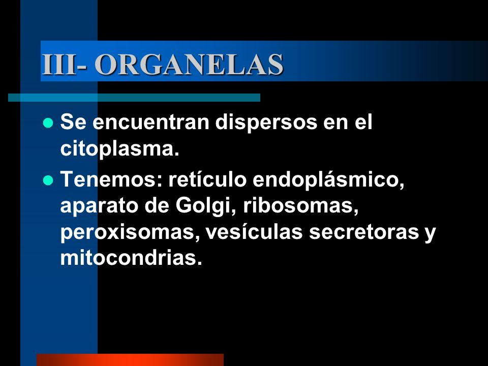 III- ORGANELAS Se encuentran dispersos en el citoplasma. Tenemos: retículo endoplásmico, aparato de Golgi, ribosomas, peroxisomas, vesículas secretora