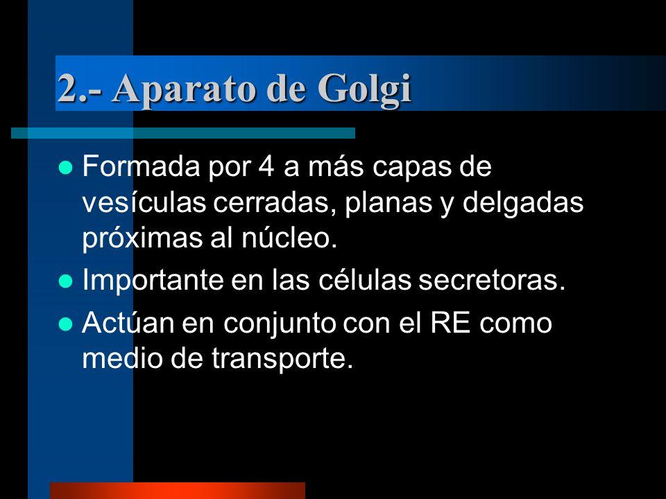 2.- Aparato de Golgi Formada por 4 a más capas de vesículas cerradas, planas y delgadas próximas al núcleo. Importante en las células secretoras. Actú