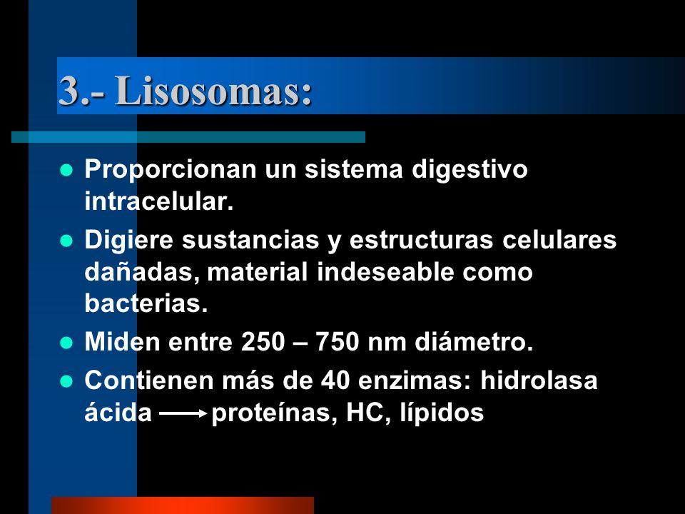 3.- Lisosomas: Proporcionan un sistema digestivo intracelular. Digiere sustancias y estructuras celulares dañadas, material indeseable como bacterias.