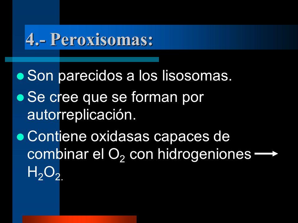 4.- Peroxisomas: Son parecidos a los lisosomas. Se cree que se forman por autorreplicación. Contiene oxidasas capaces de combinar el O 2 con hidrogeni