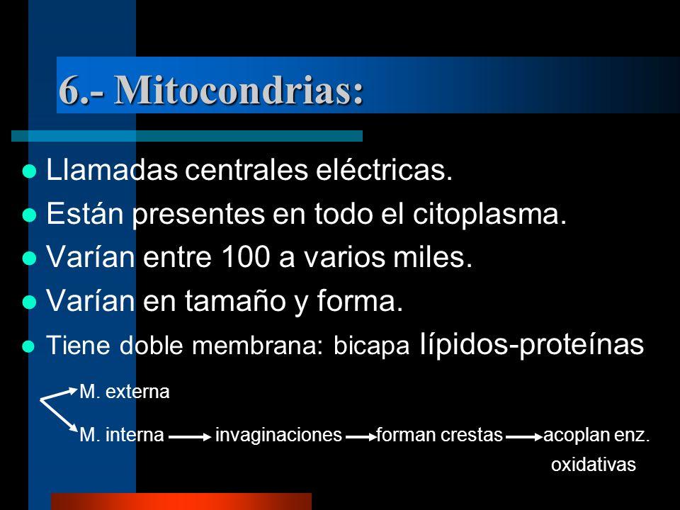 6.- Mitocondrias: Llamadas centrales eléctricas. Están presentes en todo el citoplasma. Varían entre 100 a varios miles. Varían en tamaño y forma. Tie