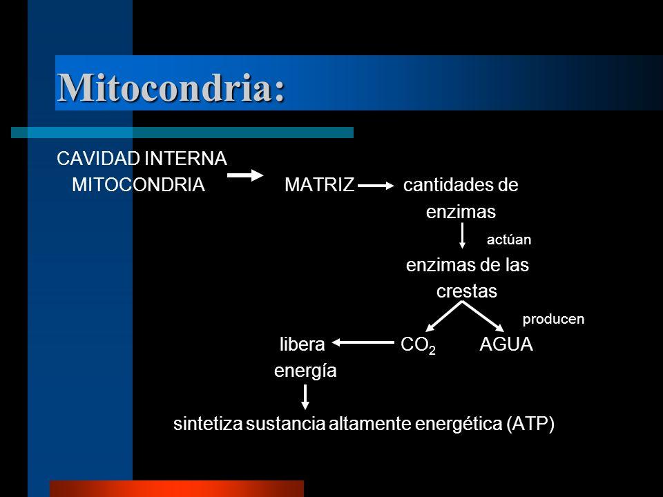 Mitocondria: CAVIDAD INTERNA MITOCONDRIA MATRIZ cantidades de enzimas actúan enzimas de las crestas producen libera CO 2 AGUA energía sintetiza sustan
