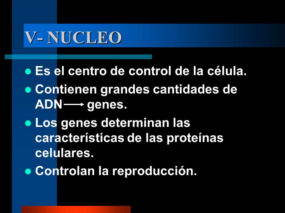 V- NUCLEO Es el centro de control de la célula. Contienen grandes cantidades de ADN genes. Los genes determinan las características de las proteínas c