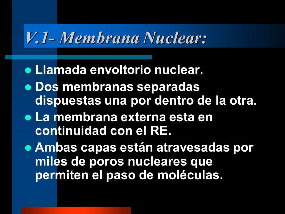 V.1- Membrana Nuclear: Llamada envoltorio nuclear. Dos membranas separadas dispuestas una por dentro de la otra. La membrana externa esta en continuid