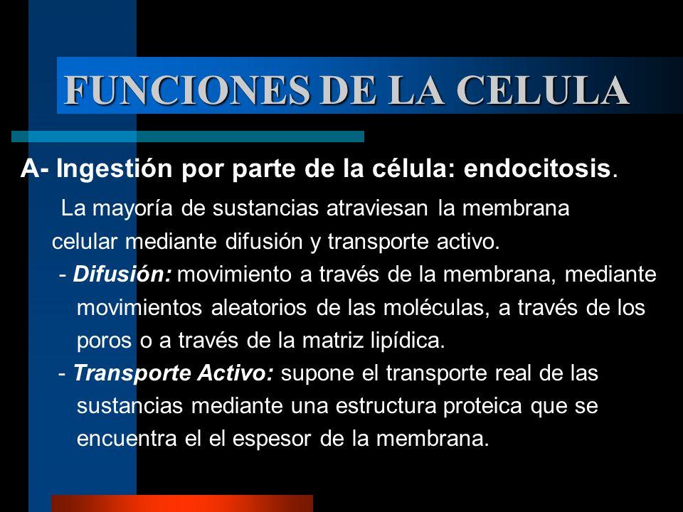 FUNCIONES DE LA CELULA A- Ingestión por parte de la célula: endocitosis. La mayoría de sustancias atraviesan la membrana celular mediante difusión y t